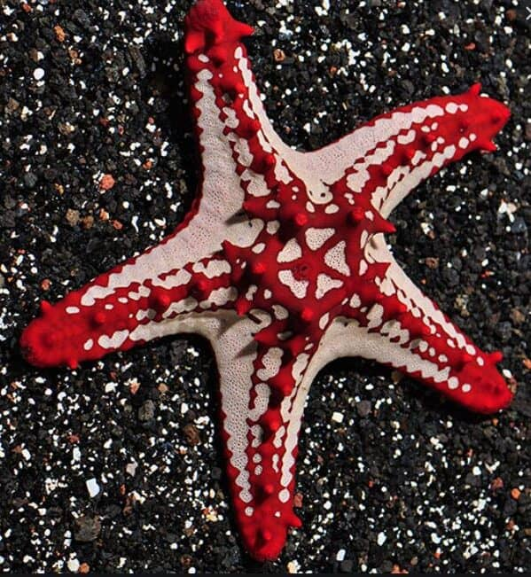 Red-Knobbed Sea Stars