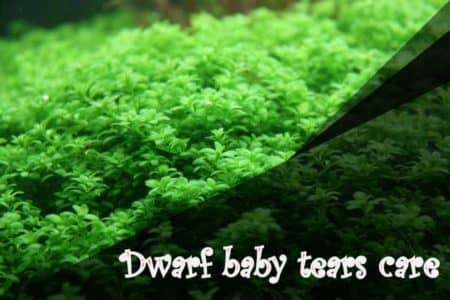 Dwarf baby tears care Everything you need to know