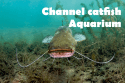 channel catfish aquarium