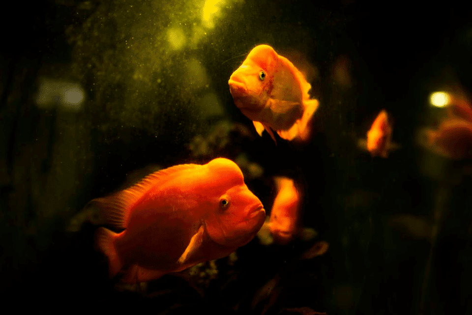 large freshwater aquarium fish
