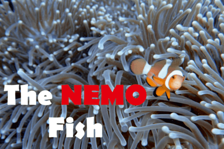 What kind of fish is nemo – Everything about clownfish