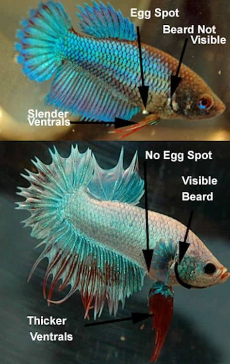 Betta Male, And Females identification