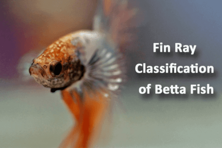 Fin Ray Classification of Betta Fish And How To Use It To Identify Them