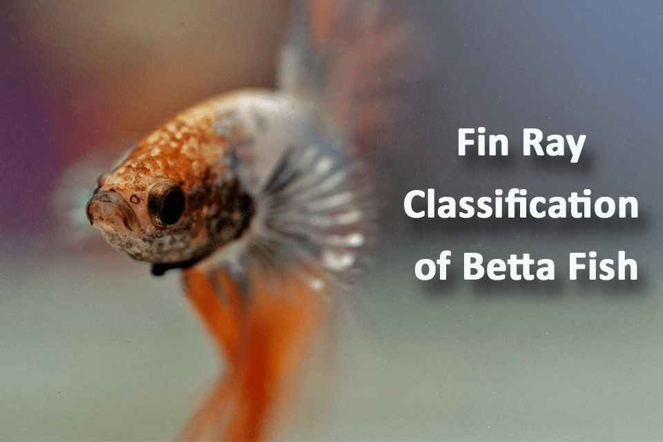 Fin Ray Classification of Betta Fish
