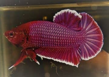 Symmetrical Halfmoon Plakat Betta
