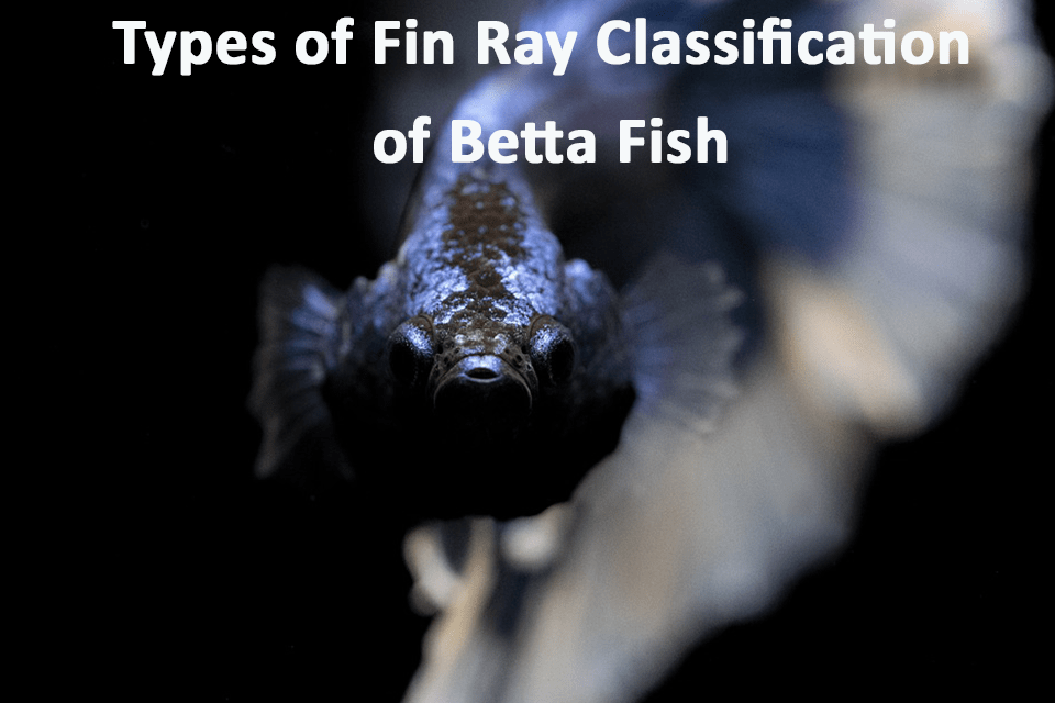 Types of Fin Ray Classification of Betta Fish