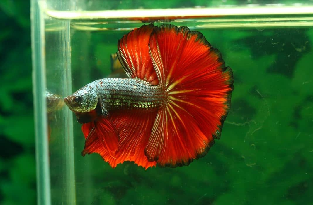 caring betta fish