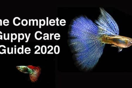 The Complete Guppy Care Guide 2021 Update:Tank Requirements, Fancy Varieties, Breeding
