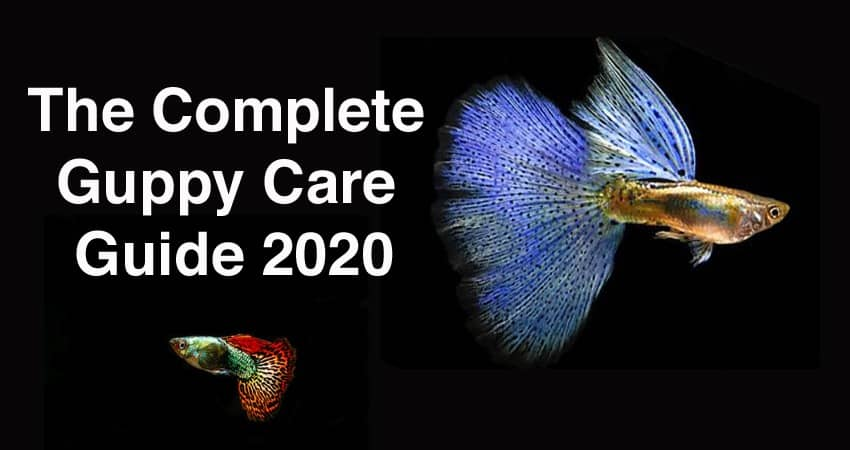 The Complete Guppy Care Definitive Guide 2020