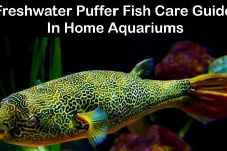 Freshwater Puffer fish Care Guide 14 Things To Know