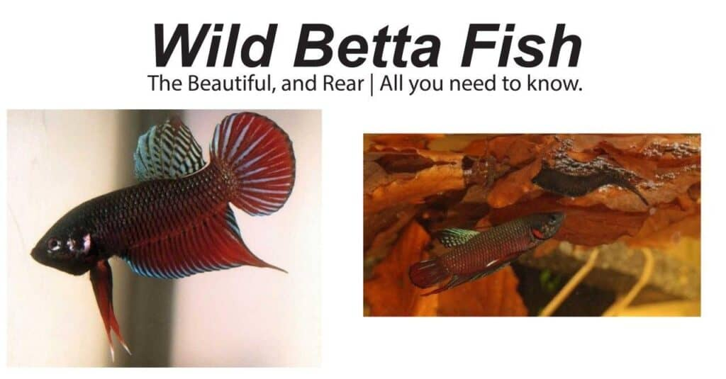wild betta fish full