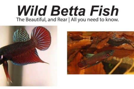 Wild Betta Fish: The Beautiful, and Rear | All you need to know.