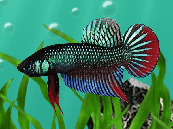 Betta-imbellis-Crescent-Betta