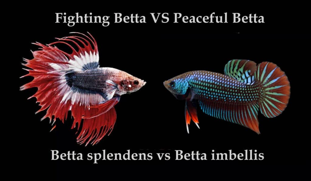 Fighting Betta VS Peaceful Betta