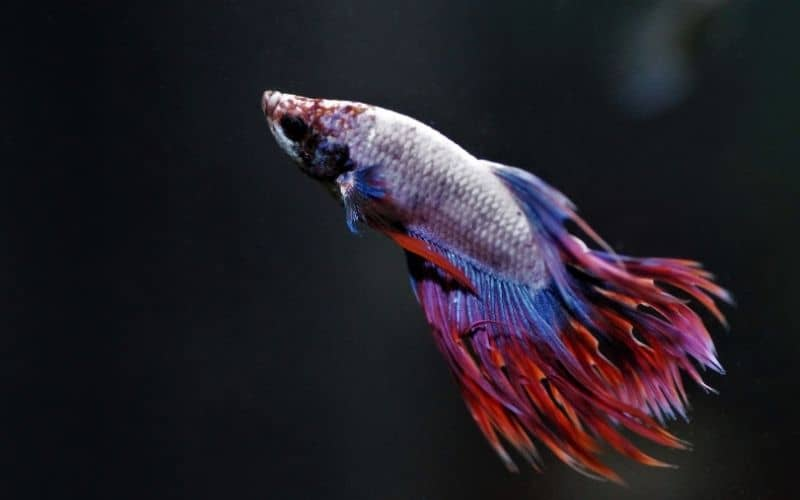 Betta Fin Rot vs Fin Loss How To Identify Them Easy.