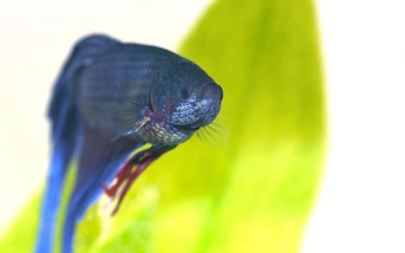 Betta Fish Poop 21 Things You Should Know