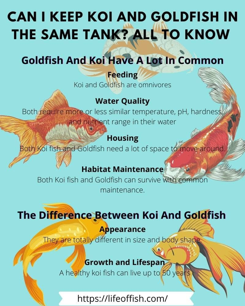 Can I Keep Koi and Goldfish In the Same Tank All To Know infographic