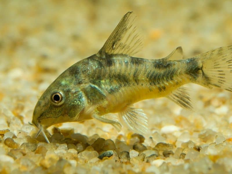Cory Catfish bottom feeding