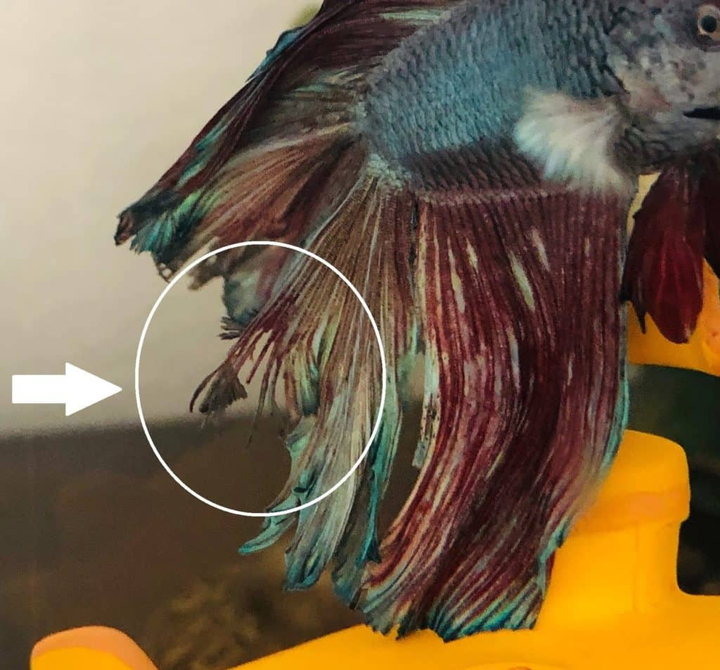 Fin Rot on Betta Fish