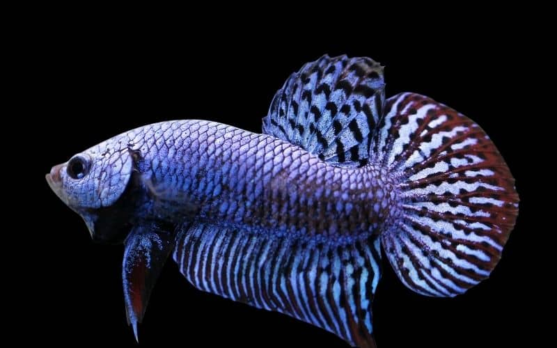 Alien Betta Care Full Guide 11 Facts Must Know