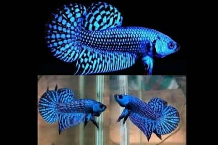 Alien Betta Care Full Guide | 11 Facts Must Know