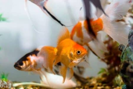How Many Goldfish Should You Keep In A 30-Gallon Tank?
