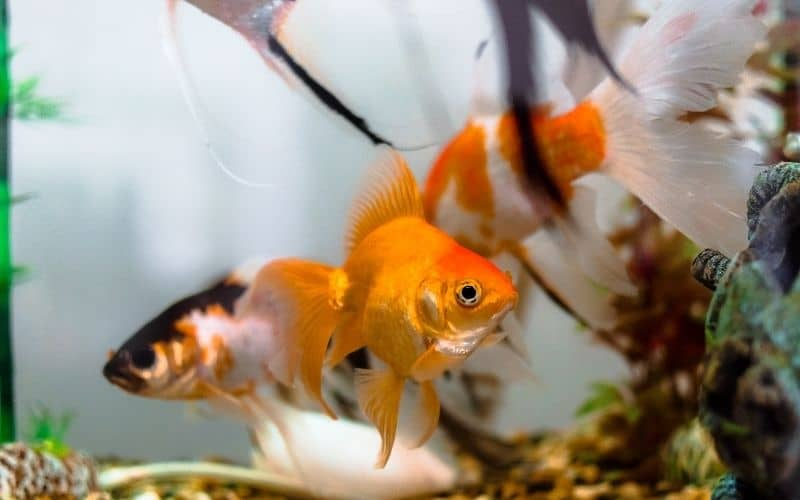 How Many Goldfish Should You Keep In A 30-Gallon Tank