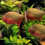 How Much Do Piranhas Cost 30 Things you should know