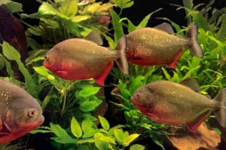 How Much Do Piranhas Cost? | 30 Things You Should Know