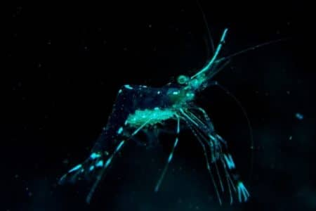 How often do ghost shrimp shed / molt? 10 things must know