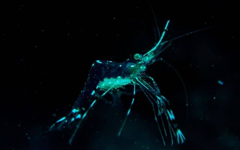 How often do ghost shrimp shed _ molt 10 things must know