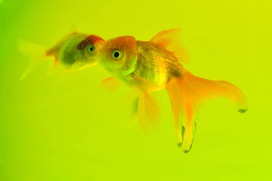 Maintain cleanliness is the most important thing to keep your fish healthy