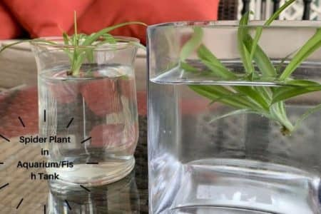 Spider Plant in Aquarium/Fish Tank | 15 Things to know