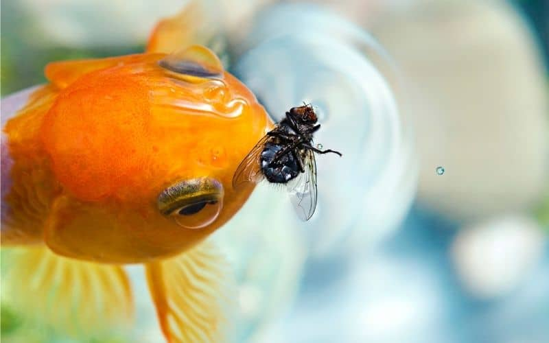 What Can Goldfish Eat 32 Foods Goldfish Likes to Eat and Nutrition