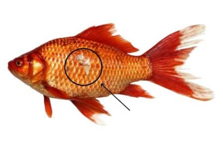 Why Goldfish Missing A Scales? | 5 Reasons Must Check