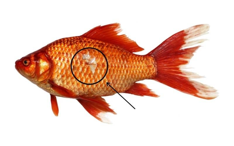 Why Goldfish Missing A Scales 5 Reasons Must Check