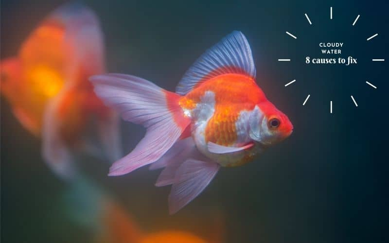 Why the Goldfish tank appears cloudy 8 causes to fix
