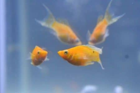 Are Molly Fish Aggressive? | 18 Things Must Know