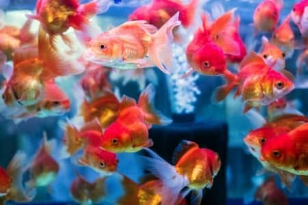 Smallest Goldfish Types And Care Must Know Facts
