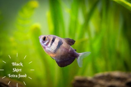 What does Black Skirt Tetra like to eat | Lets Find out what they like|