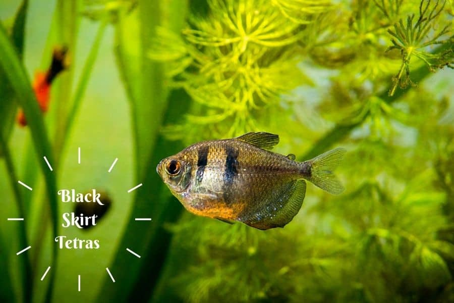 Black Skirt Tetras food and care