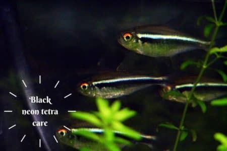 Black Neon Tetra Care Guide | 10 Things Must Know