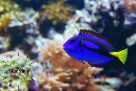 Blue Tang (Paracanthurus hepatus) Marine Fish Care Guide with pictures