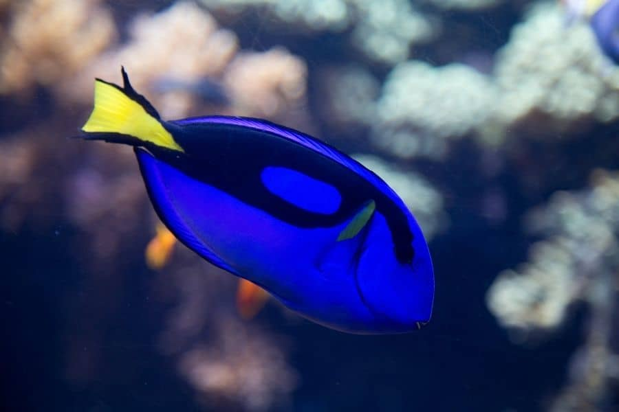 blue tang appearence