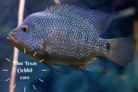 Blue Texas Cichlid Care And 12 Things Must Know