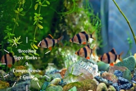 Breeding Tiger Barbs – A Comprehensive Guide You Must see