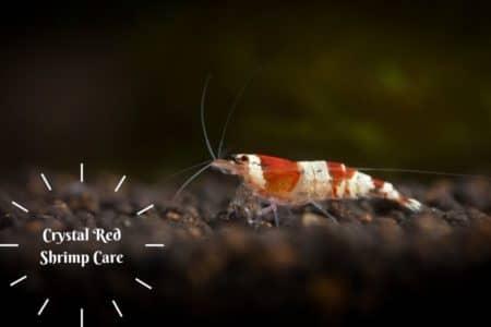 Crystal Red Shrimp (Cardinal cf. cantonensis) Care | Complete Guide|