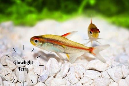 Glowlight Tetra Must Know Care Facts | Ultimate Guide