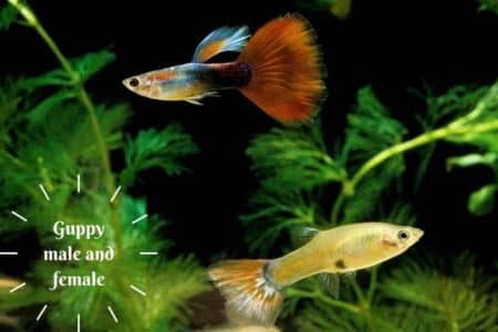 How To Identify Guppy Male And Female With Pictures
