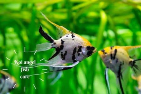 Koi Angelfish | Care Guide & 15 Things Must Know